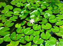 Цветок лотоса цветя на горе Laoshan стоковое изображение