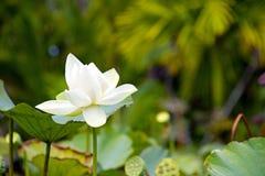 Цветок лотоса Стоковые Изображения RF