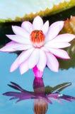 Цветок лотоса Стоковая Фотография RF