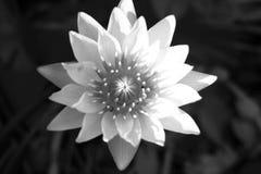 Цветок лотоса Стоковое Фото