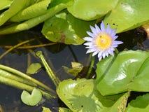 Цветок лотоса blumming в пруде Стоковое Изображение