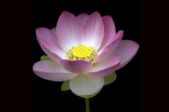 Цветок лотоса; nucifera Стоковое Изображение RF