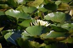 Цветок лотоса Zenabbildung Стоковые Изображения