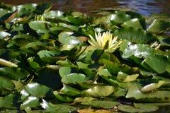 Цветок лотоса Zenabbildung Стоковое фото RF