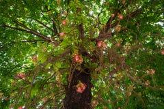 Цветок от дерева пушечного ядра стоковая фотография