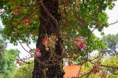 Цветок от дерева пушечного ядра стоковое фото rf