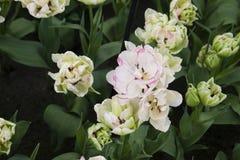 Цветок от Keukenhof стоковые фото