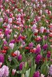 Цветок от Keukenhof стоковая фотография rf