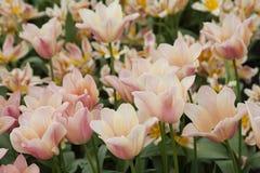 Цветок от Keukenhof стоковые изображения