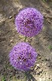 Цветок ` ощущения ` aflatunense лукабатуна фиолетовый Стоковое фото RF