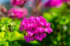 Цветок олеандра Стоковое Изображение