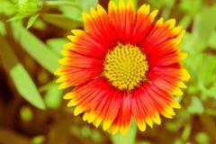 Цветок одеяла постоянный Стоковые Фото