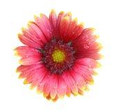 Цветок одеяла Стоковые Фото