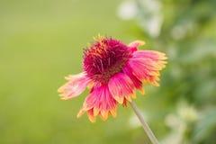 Цветок одеяла Стоковое фото RF
