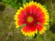 Цветок одеяла Wildflower стоковые фотографии rf