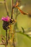 Цветок одичалого пинка Стоковые Изображения RF