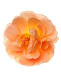 Цветок одичалого сада персика розовый Стоковое Фото