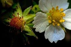Цветок одичалой клубники, vesca Fragaria Стоковая Фотография RF