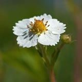 Цветок одичалой клубники, vesca Fragaria Стоковые Изображения RF