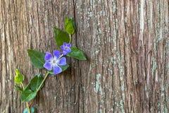 Цветок одичалой первой весны фиолетовый с листьями детенышей и greenstalk взбираясь вдоль огромного старого дерева Деревянная пре Стоковое фото RF