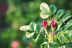 Цветок одичалый поднял, бутон плодов шиповника Стоковые Фотографии RF