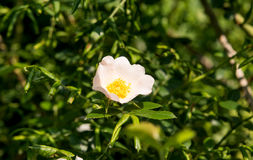 Цветок одичалый поднял растущ весной Стоковые Фото