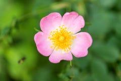 Цветок одичалый поднял растущ весной Стоковое Фото