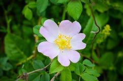 Цветок одичалый поднял (Роза Canina) Стоковое Изображение