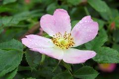 Цветок одичалый поднял Стоковые Изображения RF
