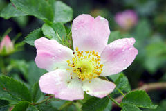 Цветок одичалый поднял Стоковая Фотография RF