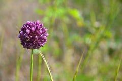 цветок одичалый Стоковая Фотография RF