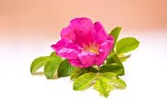 Цветок одичалых розовых заводов Стоковое Изображение