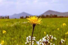 Цветок одуванчика в поле Стоковое Изображение RF