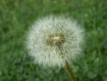 Цветок одуванчика - знак весны Стоковое Изображение RF