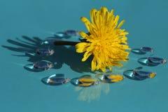 Цветок одуванчика и падения в сини Стоковое фото RF