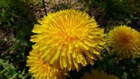 Цветок одуванчика - конец-вверх Стоковые Изображения RF