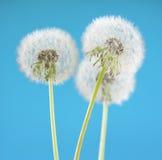 Цветок одуванчика на предпосылке неба Объект изолированный на сини против детенышей весны цветка принципиальной схемы предпосылки Стоковое Изображение