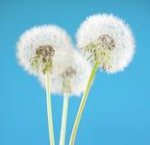 Цветок одуванчика на предпосылке неба Объект изолированный на сини против детенышей весны цветка принципиальной схемы предпосылки Стоковые Фото