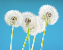 Цветок одуванчика на предпосылке неба Объект на сини против детенышей весны цветка принципиальной схемы предпосылки белых желтых Стоковая Фотография