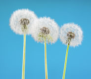 Цветок одуванчика на предпосылке неба Объект на сини против детенышей весны цветка принципиальной схемы предпосылки белых желтых Стоковое фото RF