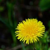 цветок одуванчика одиночный Стоковое Изображение