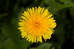 Цветок одуванчика Съестной засоритель также используемый целебно стоковое изображение rf