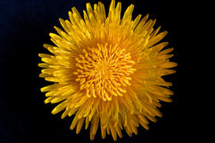 Цветок одуванчика Стоковая Фотография