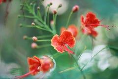 Цветок павлина обои стоковые изображения rf