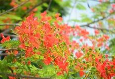 Цветок павлина стоковое фото