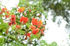 Цветок павлина бесплатная иллюстрация