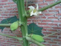 Цветок папапайи и детеныши плодоовощ папапайи Стоковые Изображения RF
