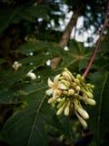 Цветок папапайи стоковые изображения