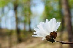 Цветок парка магнолии весной Стоковое Изображение