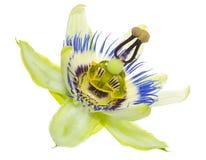 Цветок пассифлоры изолирован Стоковое Фото